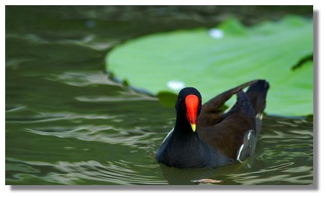 植物園內荷花池上的紅冠水雞