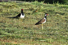 Red-wattled Lapwing  3