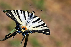 Iphiclides podalirius - farfalla podalirio (luporosso) Tags: naturaleza nature butterfly bug nikon natura bugs papillon mariposa farfalla d60 buz farfalle naturalmente nikond60 nikkor105 naturaincontaminata buzznbugz macrolife natureselegantshots beautifulmonsters