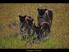 Mom and me (lensbug.chandru) Tags: life africa light shadow wild india expedition grass female canon walking is asia kenya mark walk african wildlife explorer lion east safari explore pack ii jungle valley mara bunch l 5d cubs behind usm chubby chennai chandru lioness tamil masai nadu masaimara maara 100400