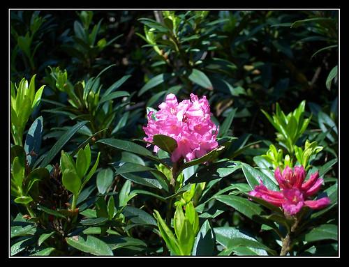 Ordesa - Flores en la Faja de Pelay