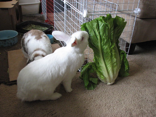 gus closely examines the huge head of lettuce