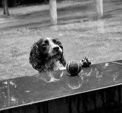 DSC_0079bw - Please Mister, can I have my ball back...? (SWJuk) Tags: uk bw dogs spaniel towneley mywinners thelittledoglaughed myfreecopyright swjuk bestofspecialpetportraits mygearandmepremium mygearandmebronze mygearandmesilver mygearandmegold mygearandmeplatinum mygearandmediamond