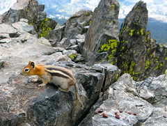 Greetings Earthling (jurvetson) Tags: mountain peak chipmunk sierras ssc mttallac goldenmantledgroundsquirrel spermophiluslateralis