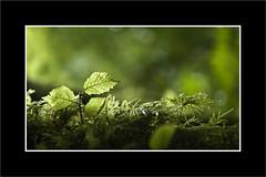 Minúsculo (Jose Luis Durante Molina) Tags: ireland naturaleza macro tree musgo verde green helecho hoja nature forest hojas arbol bokeh eire depthoffield bosque foret miniatura irlanda profundidaddecampo transparencia ramadearbol joseluisdurante