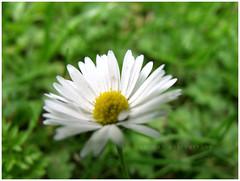 Innocence (Sarirah) Tags: flowers trail timberland