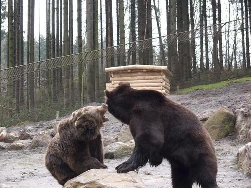 Kodiakbär und Braunbär