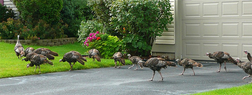 Suburban Turkeys 3