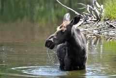 Juvenile Cow Moose (Alces alces) DDZ_0124 (NDomer73) Tags: june mammal moose tetons juvenile 2009 grandtetonnationalpark bylin 27june2009