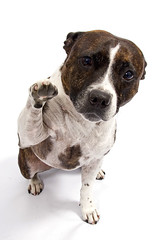 Gimme 5 Willow! (Wayner Cullinaner) Tags: willow staffordshirebullterrier staffy staffies waynercphotography