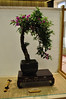 Bougainvillea bonsai (librariansarah) Tags: tree bougainvillea bonsai