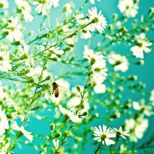 Cuba Gallery: Summer / bee / white flowers / blue background / nature / colorful / photography