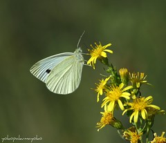 PIERIS brassicae-Cavolaia maggiore (yokopakumayoko) Tags: sardegna butterfly farfalla borboletas nuoro pierisbrassicae cavolaiamaggiore panoramafotogrfico farfallediyokopakumayoko farfalledisardegna butterfliesofsardinia papillonsdelasardaigne farfalleinitalia farfallefiorivolanti lasardegnaelesuefarfalle picsignal fotografareinsardegnafotodifrancoconcuyokopakumayoko