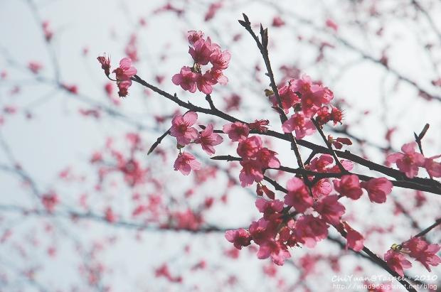 台北花卉試驗中心櫻花林01.jpg