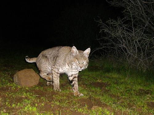 bobcat mid-marking