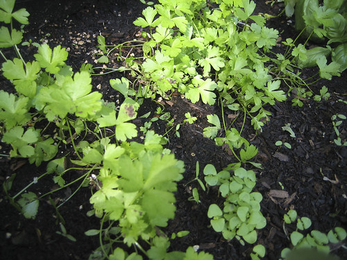 parsley and basil from seed