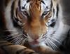 You're next.... (FLPhotonut) Tags: portrait nature look animal zoo intense feline tiger bigcat tigre canon75300 buschgardenstampa eyeofthetiger potofgold bengaltiger canon50d worldnaturewildlifecloseup 100commentgroup 100comment colorsofthesoul flphotonut