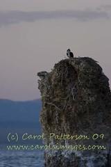 20090524_MonoLake_157-osprey (Carols Images) Tags: california monolake easternsierras highway395