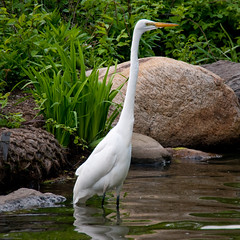 The Great Egret (Ardea Alba) (al1d8gun) Tags: newyorkcity people plants white newyork bird nature water animal island nikon rocks unitedstates centralpark manhattan wildlife aves tourists ardea northamerica creature animalia newyorkers thelake greatwhiteegret ardeidae d300 urbanpark calvertvaux ardeaalba ciconiiformes nationalhistoriclandmark publicpark fredericklawolmsted greatwhiteheron chordata neornithes commonegret neoaves neognathae afsvrzoomnikkor24120mmf3556gifed