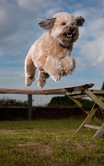 Airborne (Steve Collins Photography (momofoto)) Tags: dog jump jumping nikon collie cross fp speedlight puli cls synch sb800 ziggi strobist tccdigitalcomp2