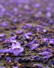 Jacaranda Flowers (dbergeron19) Tags: flower purple jacaranda dying