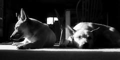 Dozing in the Sun _MG_6787 (zingpix) Tags: usa dog jeff washington all cattle  australian rights queensland australiancattledog reserved heeler acd whatcom allrightsreserved thelittledoglaughed zingpix jeffjaquish jaquish