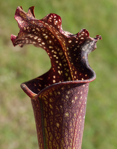 """S. moorei x """"Royal Ruby"""": Same Pitcher; Just Aged...."""