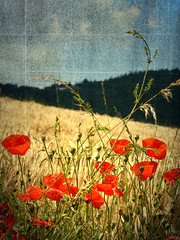 I'm in Summer (UnderTheBlue) Tags: red texture yellow cornfield poppies papaveri italianlandscapes memoriesbook