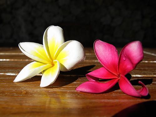 黃花及紅花雞蛋花遍佈全島