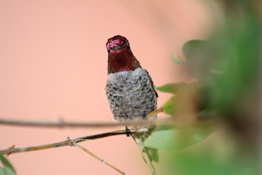 Anna's Hummingbird0207094