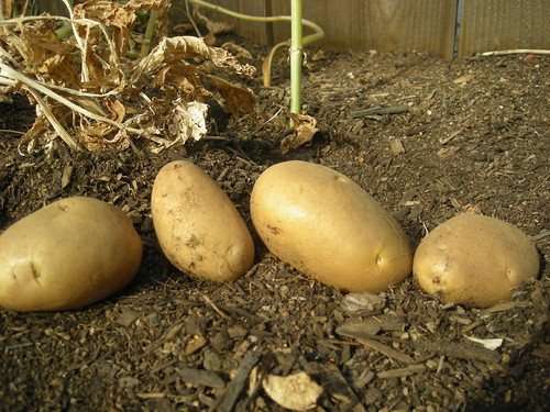 My First Potato Harvest