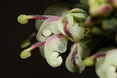 White grevillea (kasia-aus) Tags: white plant flower nature australia canberra 2009 act grevillea