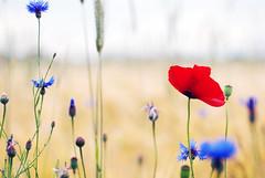 {EXPLORE} summer (Frau Koriander) Tags: explore poppy 60mm cornflower kornfeld mohn centaureacyanus kornblumen nikond80