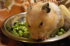 bed of pea:) (springhawk) Tags: pet animal rodent hamster mocca syrian