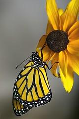 Monarch, Transformed (710studio) Tags: butterfly monarch blackeyedsusan