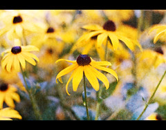 Black Eyed Susan - August (Pat Kilkenny) Tags: flowers flower yellow canon 50mm 14 august 2009 blackeyedsusan rudbeckiahirta canon40d patkilkenny
