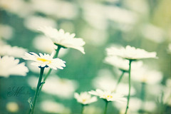 """Daisies are like sunshine to the ground."" (mjmatt) Tags: daisies bokeh 85mm explore frontpage biltmoreestate florabellatextures"