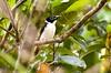 Mindanao Wattled Broadbill - PICOP Philippines_H8O2105-1 (fveronesi1) Tags: birds philippines mindanao fbwnewbird fbwadded broadbills wattledbroadbill eurylaimussteerii