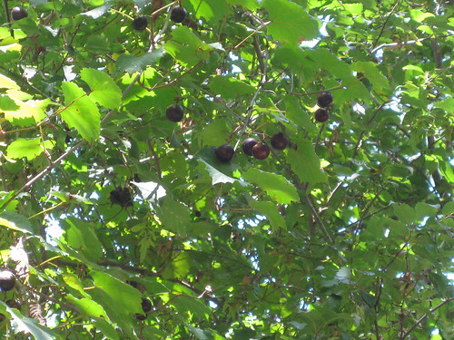 MuscadineGrapes2