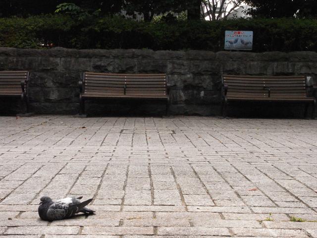 Pigeon in Kotodai Park