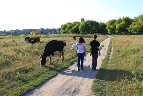 Cows in Passing