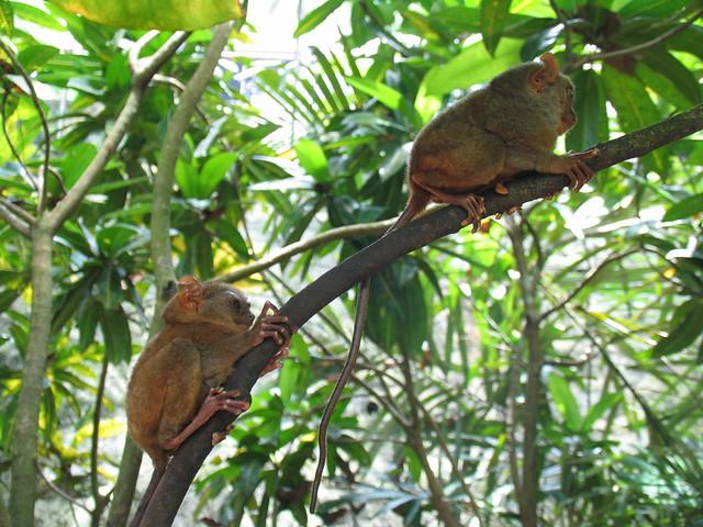 Tarseros selva Bohol