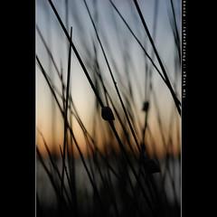Nautiluses in the reeds (Tim Serge) Tags: sunset beach nature water grass reeds nikon gimp maryland nautilus stmaryscollege southernmaryland stmarysriver stmaryscounty nikkor50mmf18d stmaryscity nikond80 capturenx2