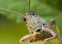 (Emery O) Tags: macro canon l grasshopper 180mm kenkoextensiontubes 50d macroextreme 580exii macrolife