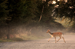 early morning (Faybalina) Tags: road sunrise golden alone young running deer cannock fallow