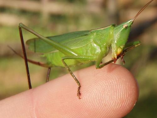 Coneheaded katydid