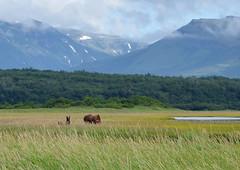 50th Andromeda 50 (Len Radin) Tags: brown mountains alaska volcano radin brownbear katmai andromeda50 drurydrama