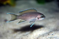 Neolamprologus brichardi (4) (Appleskatephoto) Tags: fish tank malawi cichlids ciclidos mbunas