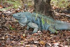 Blue Iguana II