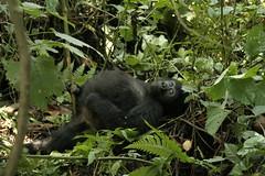 Young male Gorilla - Bwindi Impenetrable Forest NP, Uganda